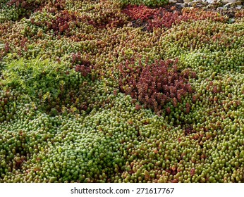 Sedum plants with dew growing at the roof of a building