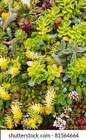 Sedum plants in the garden