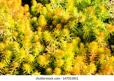 Sedum plants or sempervivum used for sustainable roof plantings