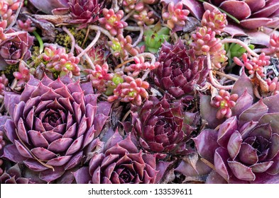 Sedum plants used for a green roof project