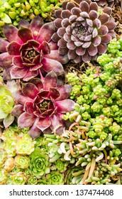 Sedum and sempervivium plants suitable for green roof applications