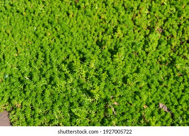 Sedum. Stonecrop. Beautiful herbal abstract background of nature. Spring landscape. Hare cabbage. Green moss. Beautiful
