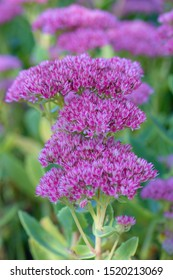 Sedum telephium, often called Hylotelephium telephium, orpine, livelong, frog's-stomach, harping Johnny, life-everlasting, live-forever, midsummer-men, Orphan John, witch's moneybags is a suc