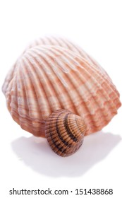 see shell on a white background