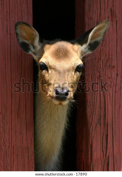 I see you!  A deer poking his head out of the door at Ft. Rickey zoo in Utica, NY.