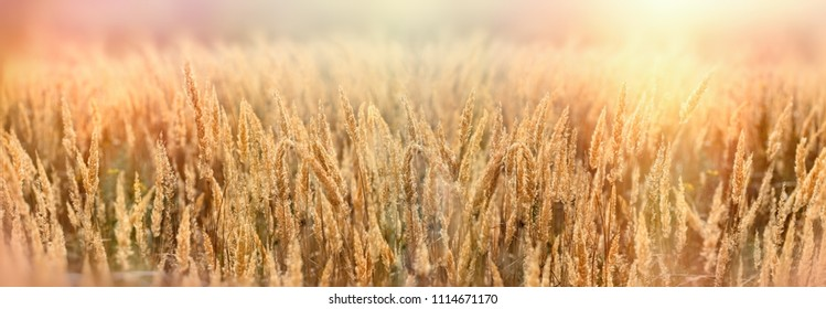 Seed of beautiful dry grass, grass in meadow lit by sunlight in late afternoon, beautiful nature-landscape