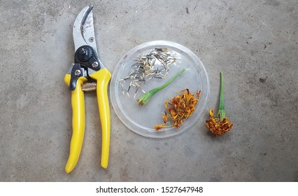Seed collecting from an orange Marigold flower using a yellow cutting tool on concrete floor.