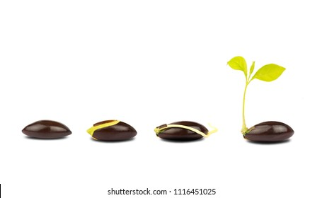 seed germination process isolate on white background.of planting tree. Seedling gardening plant. Seeds sprout in ground. Sprout, plant, tree