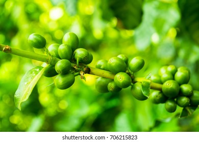 Seed green coffee.From the tree