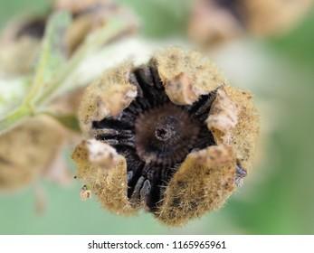 Seed head of hollyhock macro