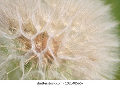 Seed head of yellow salsify or tragopogon dubius close-up as background. Flora of Ukraine. Shallow depth of field.