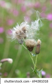 Seed heads ready to disperse of creeping thistle wild flower