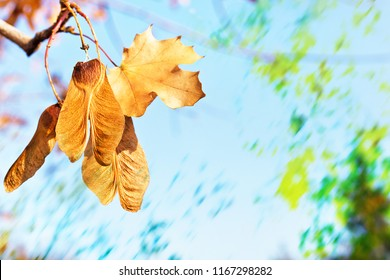 Seed of maple  hanging on the twig