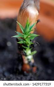 seed opens from Araucaria araucana