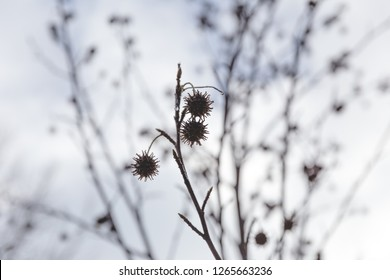 Seed pods of a plant and other plants in distance. Winter day details.