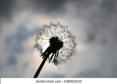 seeded dandylion silhouet