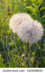 Seedhead of goat's beard on background of grass, Tragopogon pratensis. The growing salsify close up. Asteraceae Family. Flower similar to a dandelion - meadow Salsify (common names Jack-in bed-at-noon