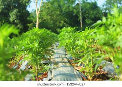 Seedings of marigolds on the plot.