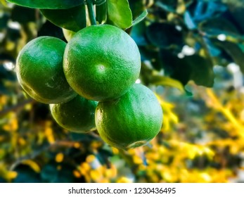 Seedless fruit grapefruit looking like green colour captured in the Botanical Garden of Aarhus in Denmark. A great picture to use for many purposes of promoting healthy lifestyle or scenery landscapes