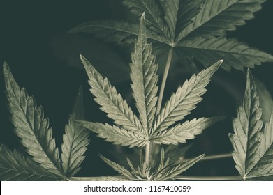 seedling of cannabis in planting pot on grunge background black background