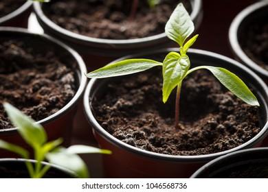 Seedling of chilli pepper in flower pot