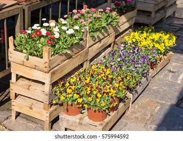Seedling flowers: daisies and pansies on the market