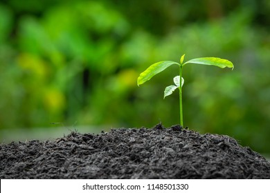 The seedling are growing in the black soil. in the rain forest. Planting trees to reduce global warming. blurred,soft focus