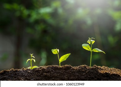The seedling are growing from the rich soil to the morning sunlight ,growing concept