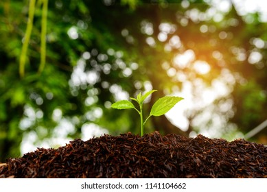 Seedling are growing in the soil and sunlight in the morning.Planting trees to reduce global warming.