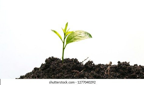 Seedling are growing in the soil with sunlight.Young plant new life,isolated on white background.
