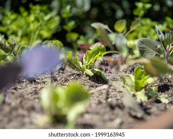 seedling of a lettuce in a raised bed