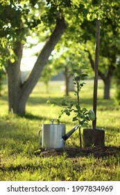 seedling of a new apple tree on the background of old large trees in the garden. watering and digging for growth