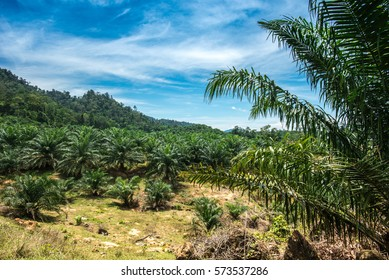 Seedling of palm trees in a palm oil plantation in the middle of the Malaysian rain forest, blue cloudy sky in  the background