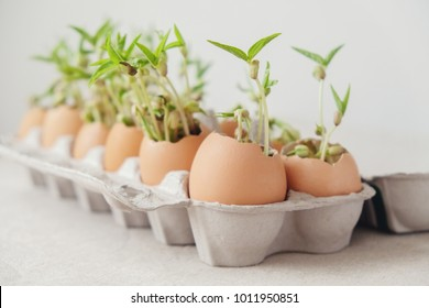 seedling plants in eggshells, eco gardening,  montessori, education concept