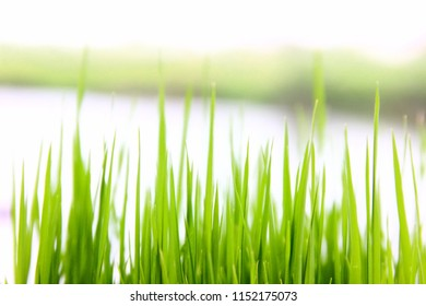 seedling rice  with blur background