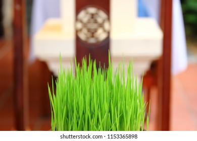seedling rice for decorate  with blur background