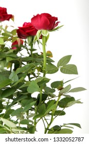 Seedling of roses on a white background