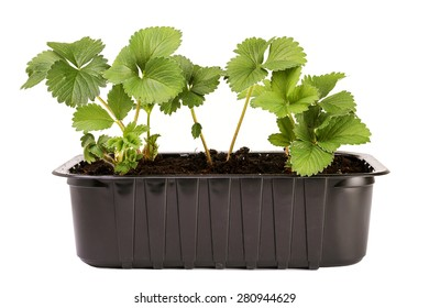 seedling strawberries on a white background