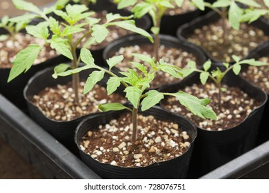 Seedling tomato in tray for sprout in greenhouse.