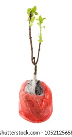 Seedling of a tree with green leaves in a plastic bag Red isolate