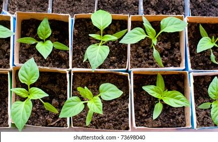 seedlings of bell pepper in cardboard boxes, near a window