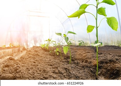 The seedlings of bell pepper in greenhouse with sun light