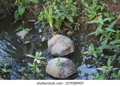 Seedlings of coconuts (Cocos nucifera) are carried by a small stream. Coconuts are common in the Philippines and are an important food and agricultural crop.
