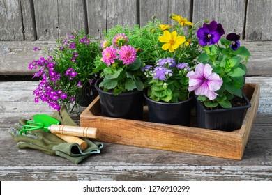 Seedlings of garden plants and flowerpots of flowers. Garden equipment: shovel, rake, gloves on wooden board.
