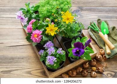 Seedlings of garden plants, flowerpots of flowers, bulbs of flowers. Garden equipment: shovel, rake, gloves. Top view.