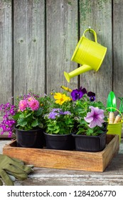 Seedlings of garden plants and flowers in wooden crate. Bucket, shovel, rake, gloves. Hanging watering can with pink Dahlia flower on old wooden wall of garden shed. Copy space for text.