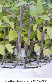 seedlings of grafted tomato plants
