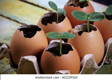 Seedlings grow in the eggshell young and green