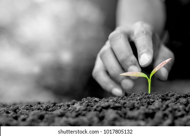 Seedlings are growing from abundant soil. While are men's hands are gently touching, ecology concept, black and white tone.
