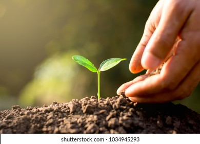 Seedlings are growing from abundant soil. While the hands of men are pouring the soil to cultivate.